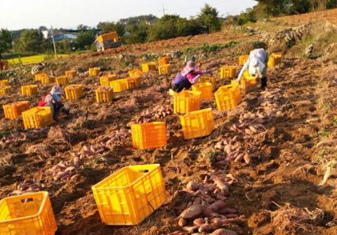 이천고구마 수확하는 일꾼들입니다.
