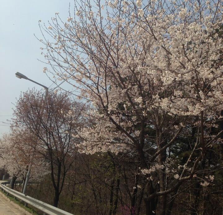 진가리 벚꽃