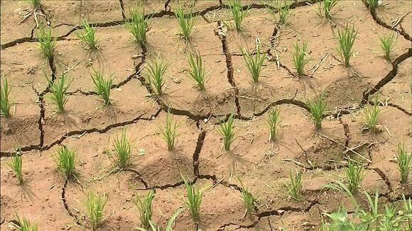 이천쌀 가뭄피해